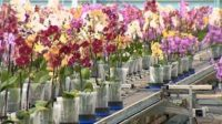 Ogrodnictwo dam pracę w Holandii przy kwiatach – pielęgnacja orchidei w Harmelen