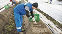 Od zaraz sezonowa praca Holandia zbiory szparagów bez znajomości języka Asten