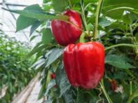 Od zaraz Holandia praca sezonowa bez znajomości języka przy zbiorach warzyw