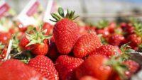 Sezonowa praca Holandia przy zbiorach truskawek bez znajomości języka Belfeld