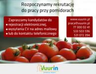 Holandia praca przy pomidorach – zbiory warzyw Holandia bez języka, Nieuwerkerk