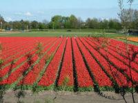 Holandia praca wakacyjna w ogrodnictwie przy kwiatach bez języka, Overijssel 2017