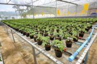 Praca Holandia w ogrodnictwie bez języka przy uprawie roślin, Zevenhuizen