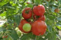Sezonowa praca Holandia bez znajomości języka zbiory pomidorów od zaraz Venlo