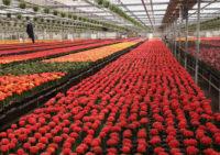 Ogrodnictwo praca w Holandii dla par bez znajomości języka przy kwiatach Vlissingen