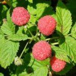 Sezonowa praca w Holandii od zaraz zbiory owoców bez znajomości języka Roggel