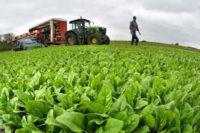 Dam sezonową pracę w Holandii przy zbiorze warzyw – sałaty i jej pakowaniu
