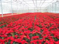Ogrodnictwo oferta świątecznej pracy w Holandii przy kwiatach – gwiazdach betlejemskich, Dronten