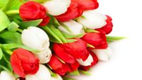 Od zaraz oferta pracy w Holandii w ogrodnictwie przy kwiatach – tulipanach, Hoofddorp
