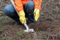 Ogrodnictwo praca w Holandii w szkółce drzewek bez języka