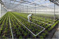 Holandia praca w ogrodnictwie 2018 bez języka – pakowanie plantów, 's-Gravenzande