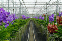 Orchidee, Holandia praca 2018 od zaraz przy kwiatach w ogrodnictwie dla Pań, Moerkapelle