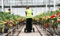 Holandia praca sezonowa bez znajomości języka zbiory truskawek od zaraz Berlikum