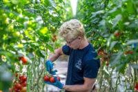 Venlo, Holandia praca w ogrodnictwie podwiązywanie ogórków i pomidorów szklarniowych