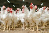 Dla par (k/m) dam pracę w Holandii w fabryce kurczaków z językiem angielskim, Nijkerk