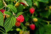 Sezonowa praca Holandia w ogrodnictwie planty – sadzonki malin i truskawek