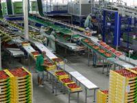 Oferta pracy w Holandii przy pakowaniu warzyw i owoców okolice Hagi (Poeldijk)