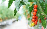 Sezonowa praca w Holandii – zbiory pomidorów w szklarni bez języka, Someren 2018