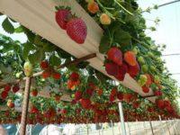 Dam sezonową pracę w Holandii – zbiór truskawek szklarniowych wiszących, Meijel