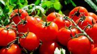 Holandia praca w ogrodnictwie przy pomidorach bez języka, Horst 2018