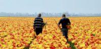 Praca Holandia od zaraz w ogrodnictwie bez znajomości języka przy kwiatach Horst