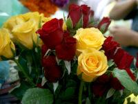 Holandia praca w ogrodnictwie bez języka przy kwiatach – różach w szklarni, Waddinxveen