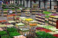 Fizyczna praca Holandia przy kwiatach bez znajomości języka od zaraz, Naaldwijk