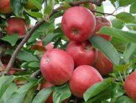 Holandia praca bez znajomości języka przy zbiorach jabłek od zaraz Horst