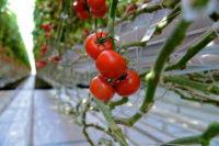 Ogrodnictwo praca w Holandii bez języka w szklarni przy ogórkach, pomidorach od zaraz, Venlo