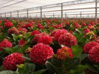 Od zaraz praca Holandia w ogrodnictwie bez znajomości języka przy kwiatach ścinanie hortensji