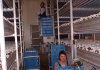 Zbiory pieczarek dam sezonową pracę w Holandii bez języka od zaraz, Ammerzoden
