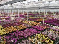 Ogrodnictwo Holandia praca przy kwiatach w szklarni od zaraz, Westland 2018
