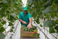 Holandia praca sezonowa przy zbiorach warzyw (ogórki, cykoria) w szklarni Venlo październik 2018