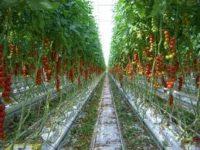 Praca w Holandii bez języka w ogrodnictwie przy pomidorach, papryce, kwiatach doniczkowych, Wateringen