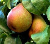 Oferta sezonowej pracy w Holandii od zaraz bez języka zbiory gruszek i jabłek