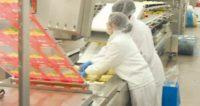 Praca w Holandii z językiem angielskim na produkcji w fabryce serów k. Tilburga
