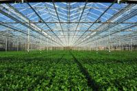 Dam pracę w Holandii przy kwiatach oferta świąteczna w ogrodnictwie, Noordwijkerhout