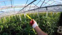 Ogrodnictwo Holandia praca jako pracownik szklarni z pomidorami od zaraz