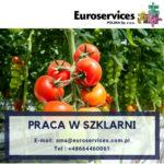 Planty pomidorów Holandia praca w ogrodnictwie bez języka w szklarni, Haarsteeg