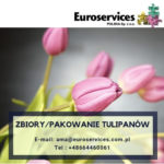 Sezonowa praca w Holandii bez języka przy zbiorach i pakowaniu kwiatów-tulipanów Dirksland
