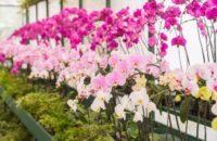 Od zaraz ogrodnictwo praca w Holandii przy kwiatach bez języka 2019, Westland
