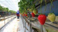 Zbiór truskawek szklarniowych sezonowa praca w Holandii od zaraz bez języka 2019