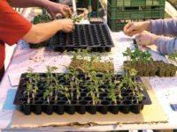 Holandia praca w ogrodnictwie przy sadzonkach na szklarni i hali dla kobiet, Lottum