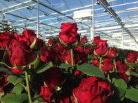 Bez języka praca Holandia od zaraz ogrodnictwo przy kwiatach szklarnia ścinanie róż Emmeloord