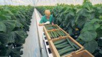 Bez języka dam sezonową pracę w Holandii zbiory ogórków, pomidorów od zaraz