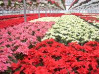Dam pracę w Holandii w ogrodnictwie w szklarni z kwiatami od zaraz 2019