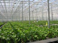 Kaatsheuve oferta pracy w Holandii w ogrodnictwie – sadzonki, układanie bukietów