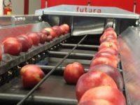 Fizyczna praca w Holandii sortowanie i pakowanie jabłek i gruszek 2019