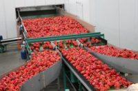 Od zaraz dam pracę w Holandii pakowanie i sortowanie papryki, pomidorów