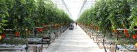 Praca Holandia w ogrodnictwie bez języka od zaraz przy pomidorach, papryce, cykorii, bakłażanach